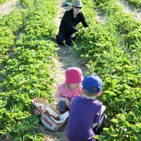 strawberry-picking-086
