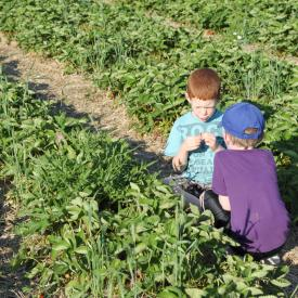 strawberry-picking-092
