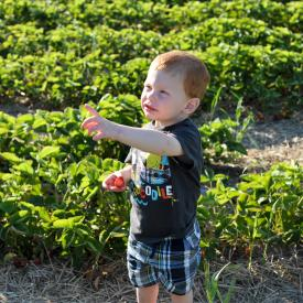 strawberry-picking-109