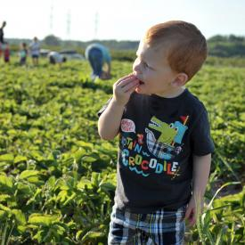 strawberry-picking-111